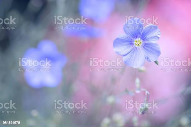 Foto de Flor Azul De Linho Sobre Um Fundo Rosa Delicado Cores Pastel Linho Fundo Ao Ar Livre Com Espaço Para Texto e mais fotos de stock de Azul