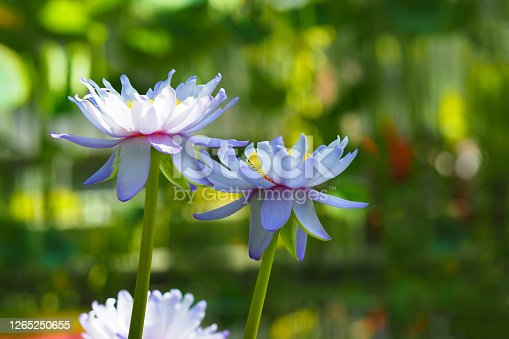 istock Blue flower of Indian Lotus or Nelumbo nucifera, aquatic plant 1265250655