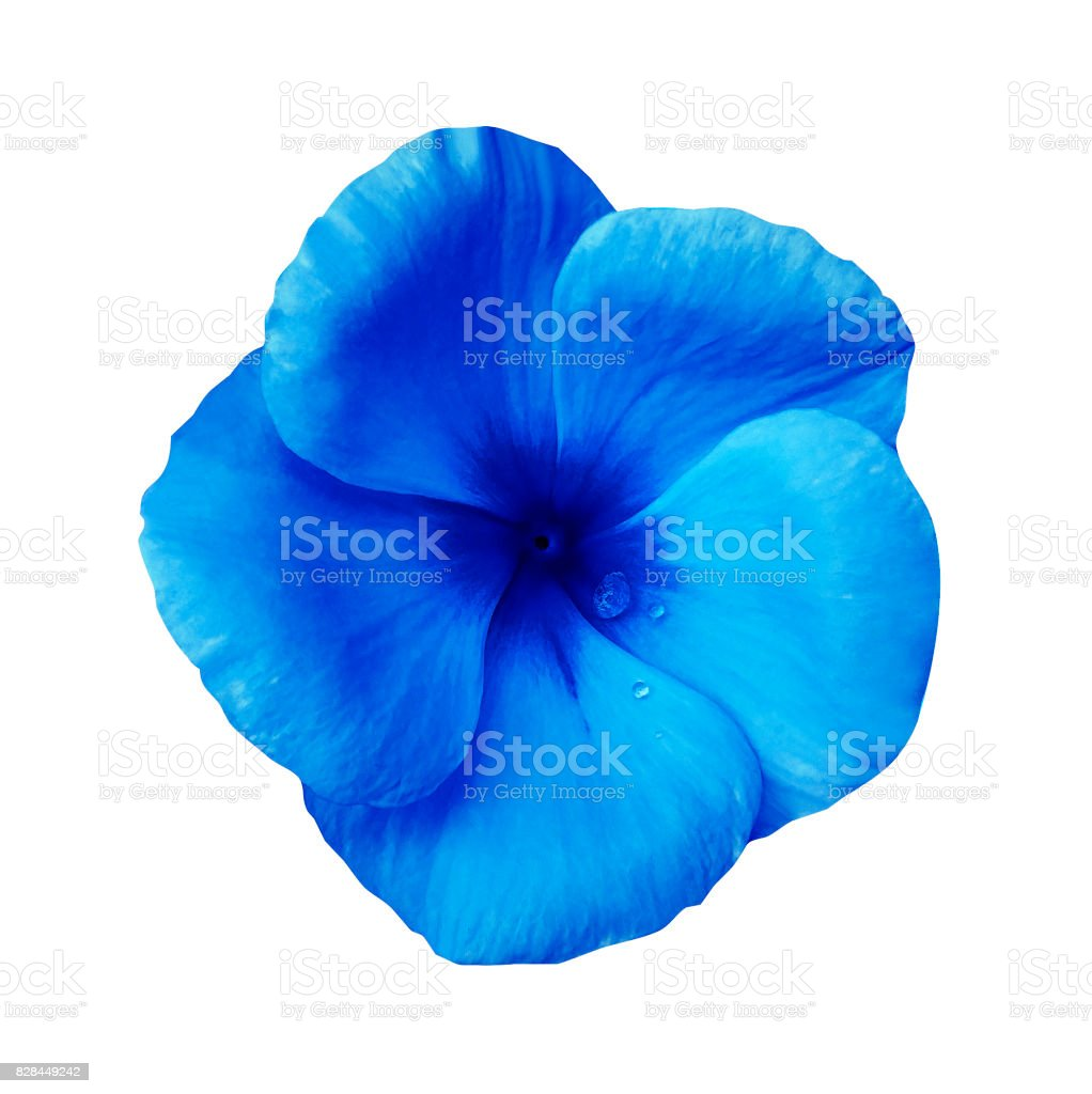 Blue  flower on isolated white background with clipping path.  Closeup. Beautiful blue flower Violets for design.  Nature. stock photo