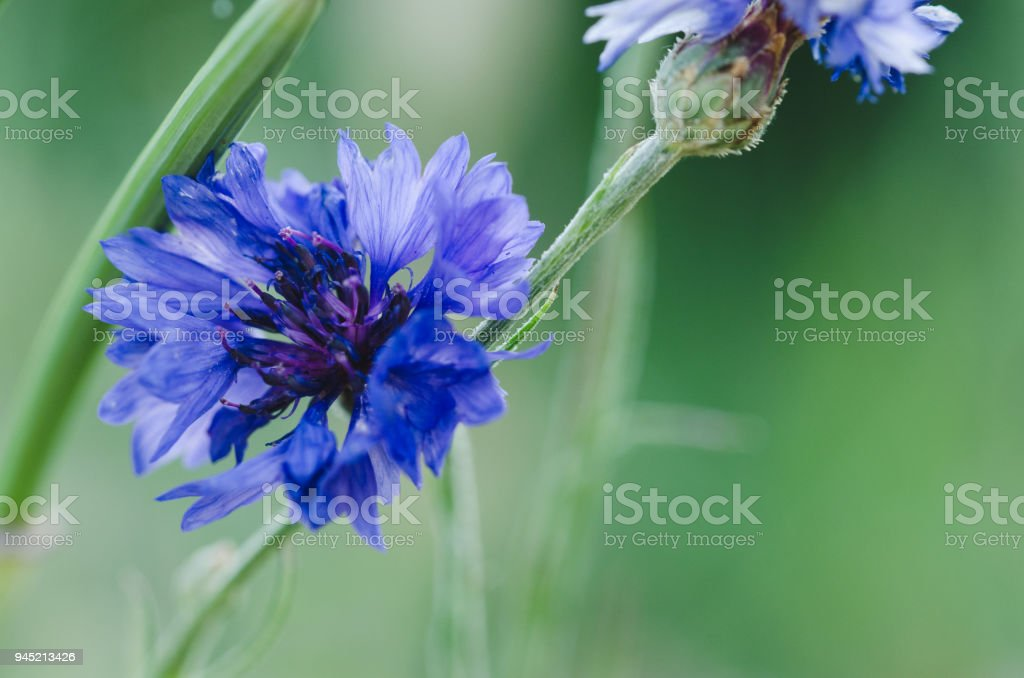Blue flower on the plant with unfocused background. stock photo