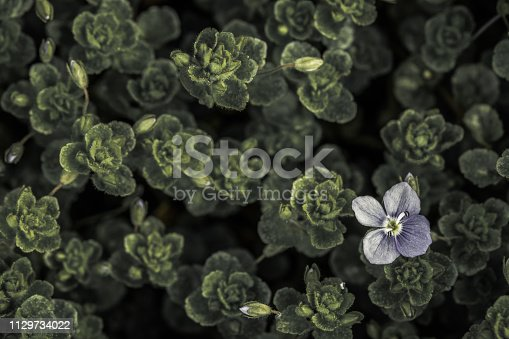 istock Blue Flower 1129734022