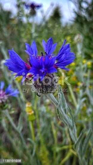 istock Blue flower 1135191658