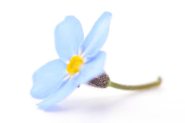 flor de azul - miosótis - fotografias e filmes do acervo