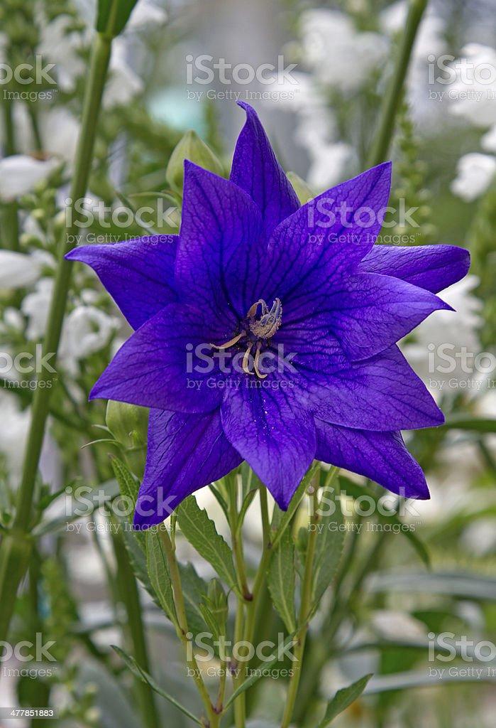 blue flower royalty-free stock photo