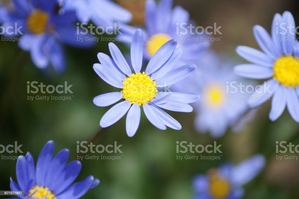 Blue  flower stock photo