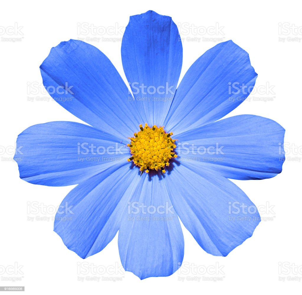Blue Flower Primula Isolated On White Stock Photo More Pictures Of