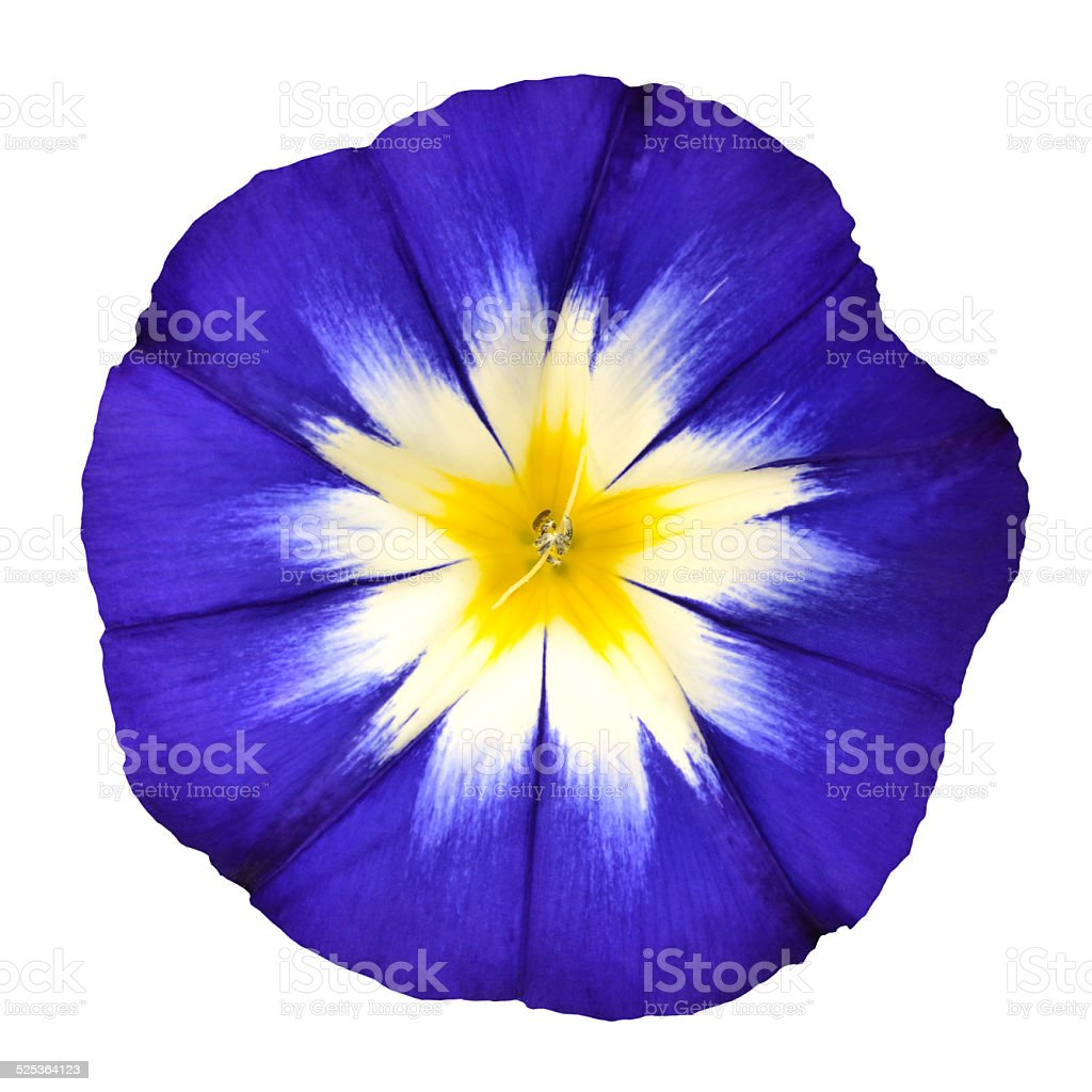 Blue flower with white yellow star center isolated stock photo blue flower with white yellow star center isolated royalty free stock photo mightylinksfo