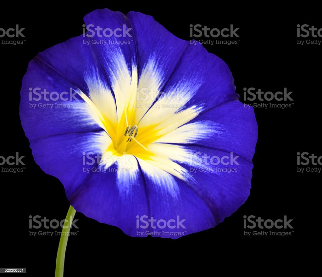 Blue flower with white yellow star center isolated stock photo blue flower with white yellow star center isolated royalty free stock photo izmirmasajfo