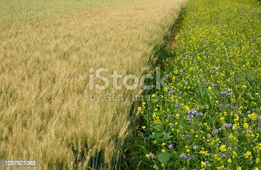 bundle, mustard, wheat, field, belt, along, bees, bee, insect, landscape, stripe, stripes, boundary, flowering, crop, phacelia, tanacetifolia, brassica, napus, yellow, blue, edge, nectar, sweet, ecology, butterfly, attract, bordered, honey, plant, sky, nature, flower, meadow, agriculture, spring, summer, green, rural, farm, canola, grass, flowers, countryside