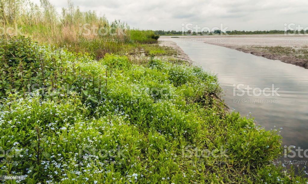 Blue flowering Forget-me-nots in a nature reserve stock photo