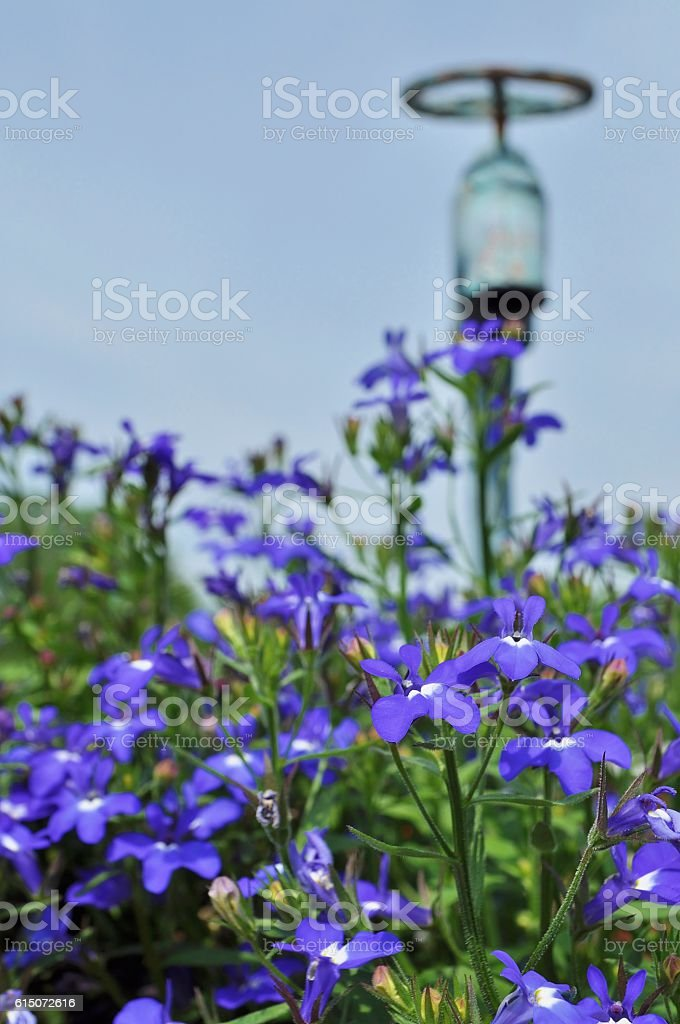 Blue flowers and faucet. stock photo