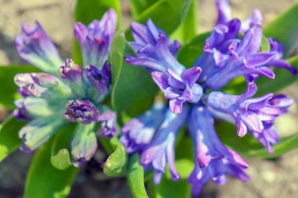Blue flowers close up macro in garden picture id1249465514?b=1&k=6&m=1249465514&s=612x612&w=0&h=zq8ouwdbjnmdeha1xmtumcoklivqmyrskyutzz2brzq=