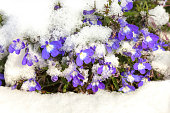 Blue flowers covered with fresh snow. Lobelia erinus, commonly called edging  lobelia