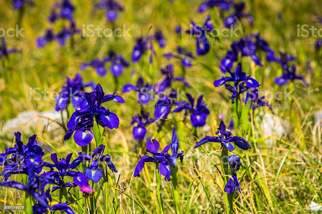 blue flowers field on a mount slope royalty-free stock photo