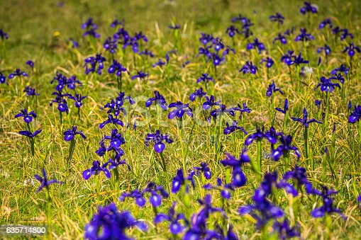 Blue Flowers Field On A Mount Slope Stock Photo & More Pictures of Arts Culture and Entertainment