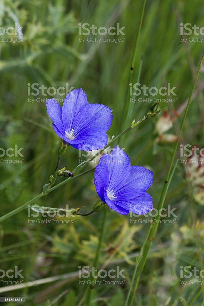 Blue Flowers - Florecillas Azules stock photo