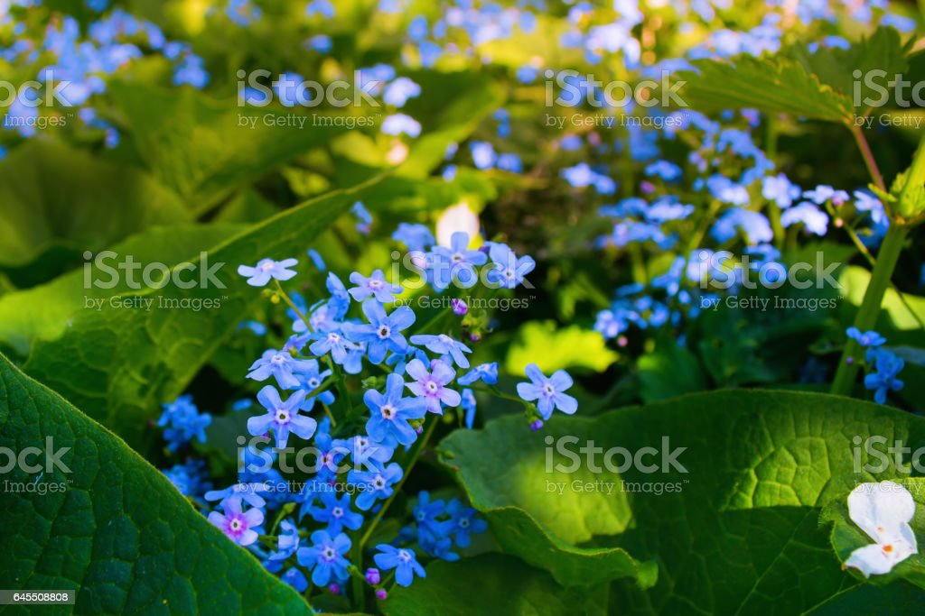Blue flowers (Brunnera sibirica) in the nature stock photo