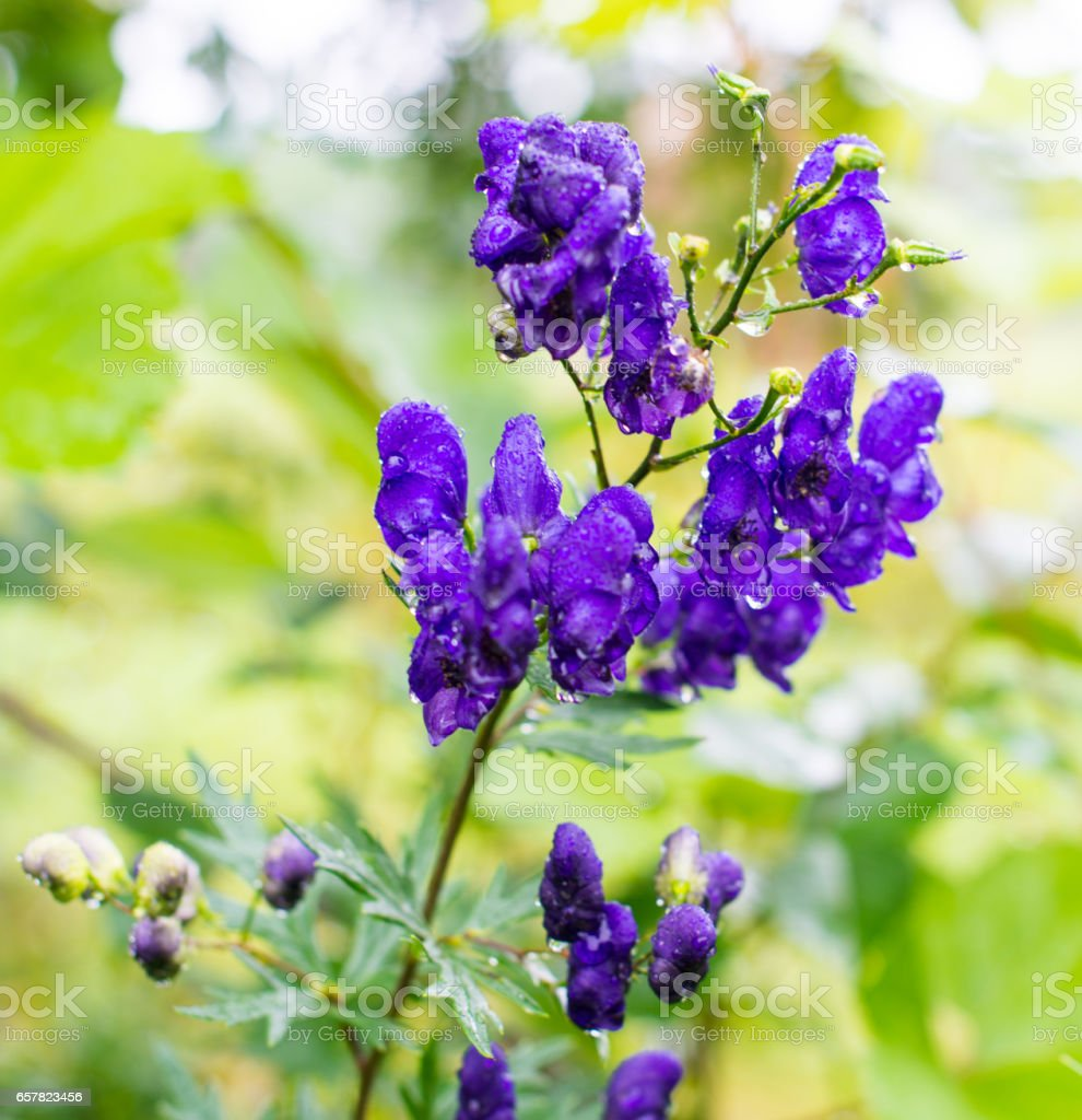 Blue flowers of aconitum - Photo