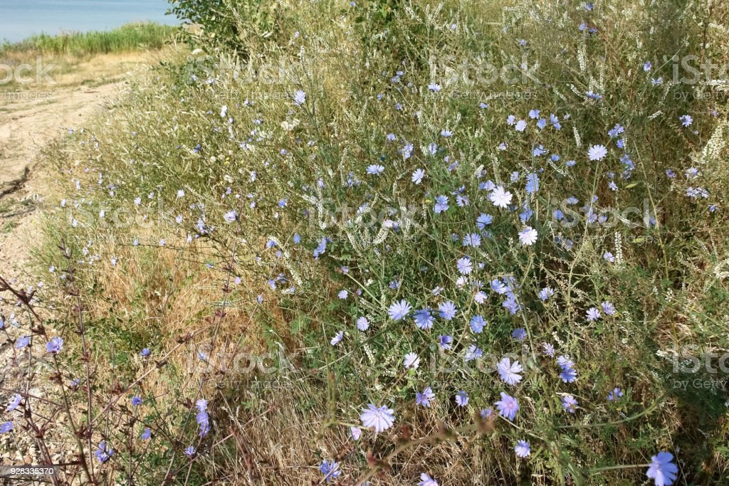 Blue flowers of chicory and the path along the lake. stock photo