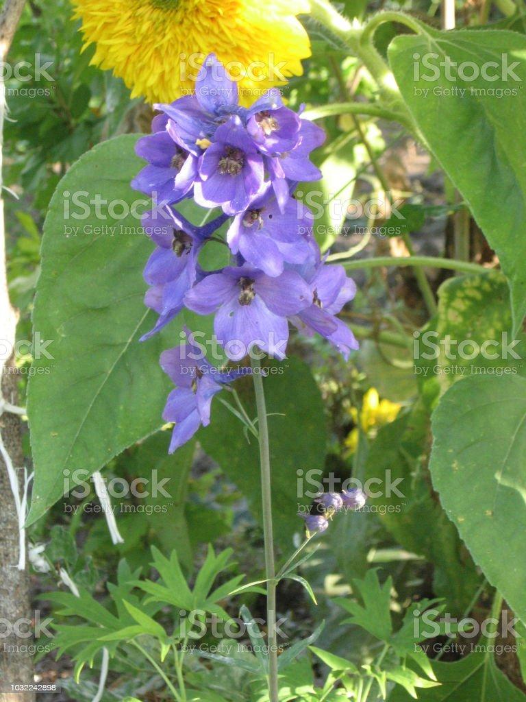 Blue Flowers Of Delphinium Delphinium Flower In The Garden Larkspur