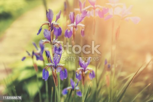 Blue flowers of iris marsh in the garden. Sunny day, blurred background.