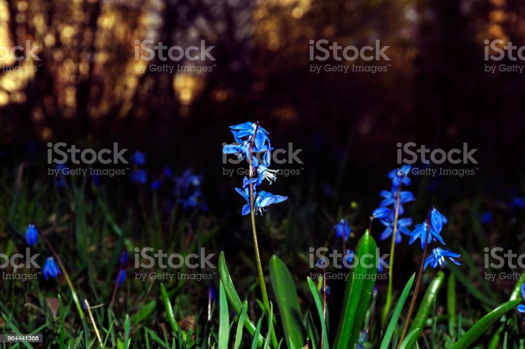 blue flowers of squills on sunset background - Royalty-free Beauty Stock Photo