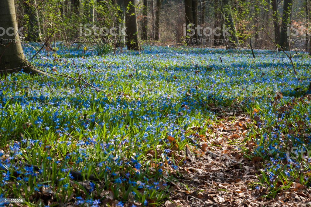 Blue flowers of the Scilla Squill blooming.  Bright spring flower of Scilla Bifolia in forest. stock photo