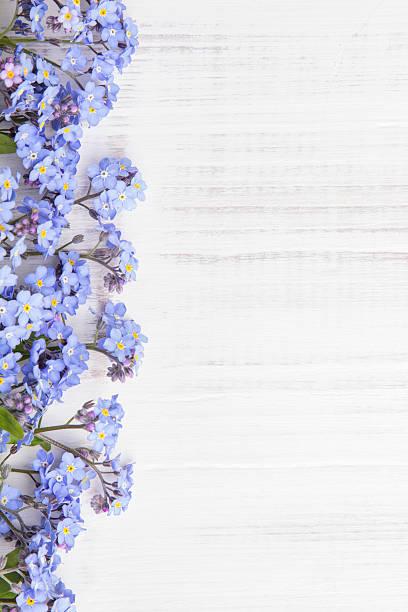 flores azuis em fundo branco - miosótis - fotografias e filmes do acervo
