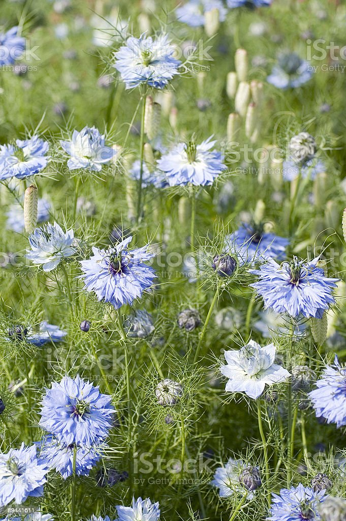 Blue flowers royalty-free stock photo