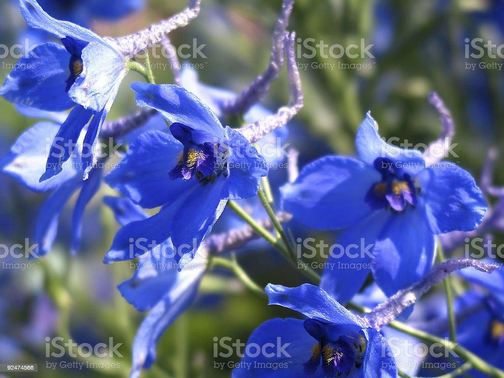 Blau Blumen Lizenzfreies stock-foto