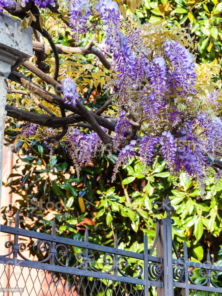 blue flowers wisteria bush in urban garden photo libre de droits
