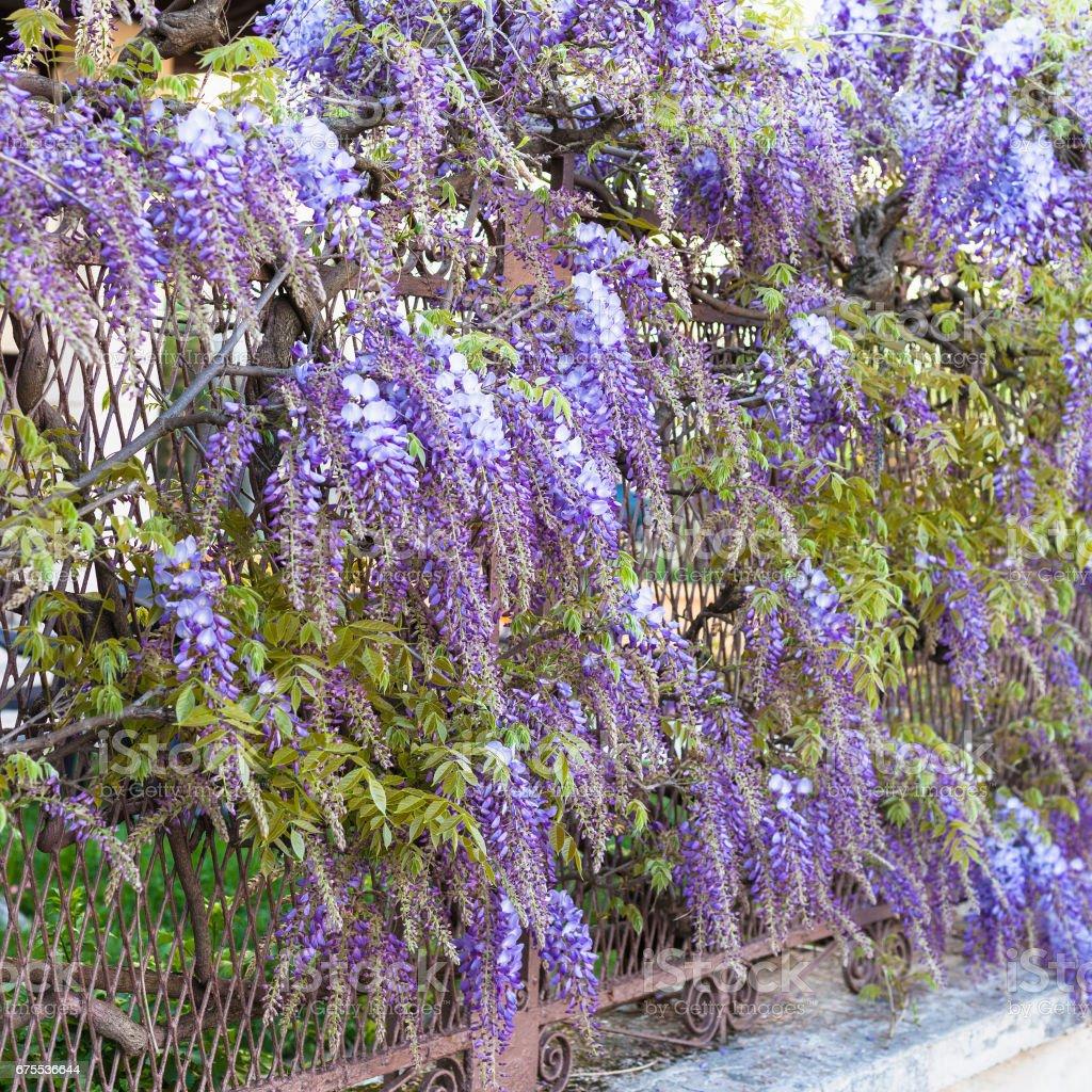 Blue Flowers Wisteria Plant In Garden In Mantua Stock Photo