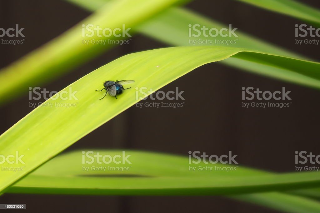 Blue Fly in the yucca stock photo
