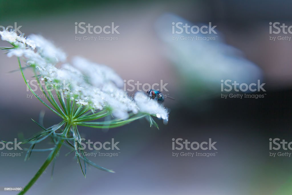 blue fly on white wildflower nature background royalty-free stock photo