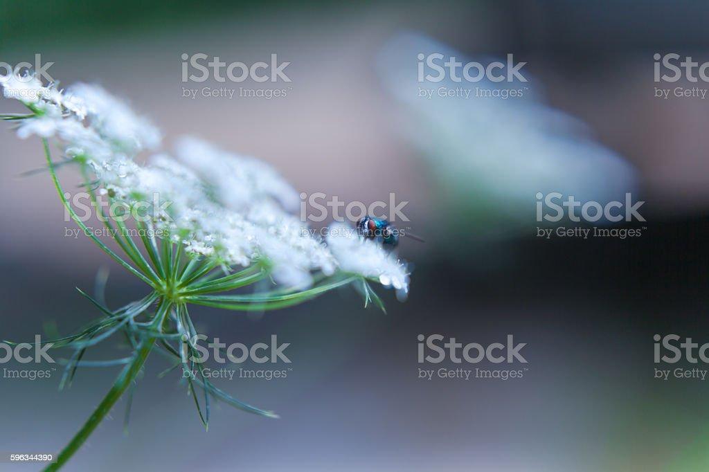 blue fly on white wildflower nature background Lizenzfreies stock-foto