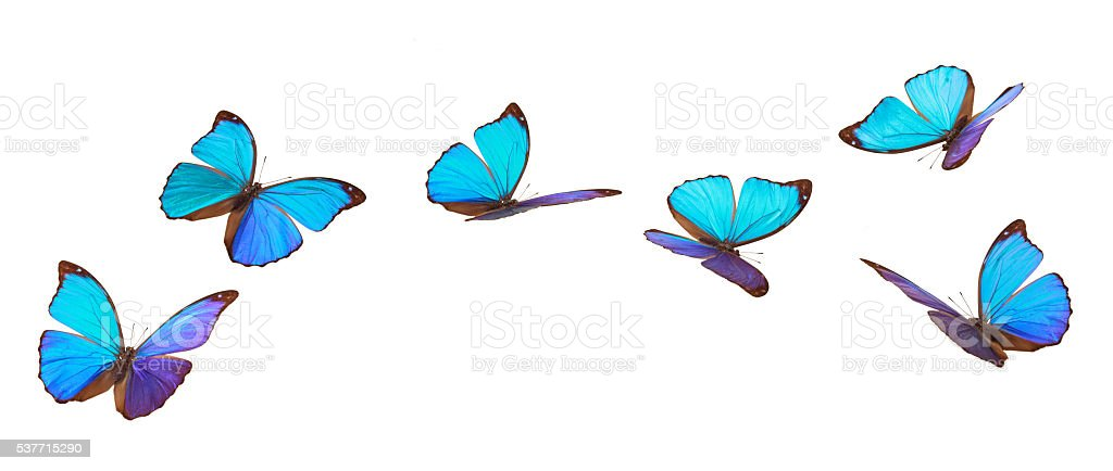 Blue flying butterflies. stock photo