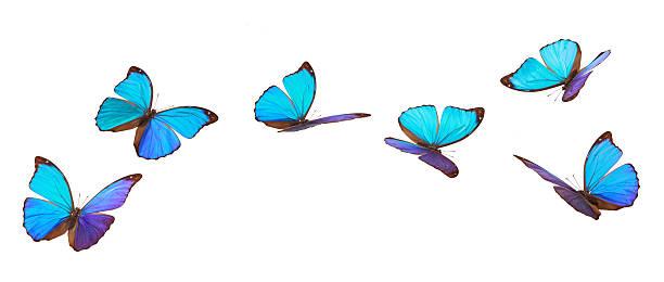 blau fliegende schmetterlinge. - schmetterling stock-fotos und bilder