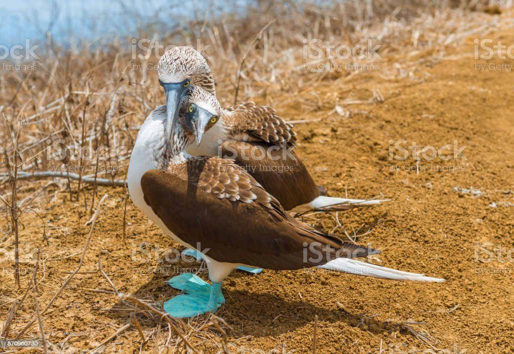 Blue Footed Boobies Couple stock photo