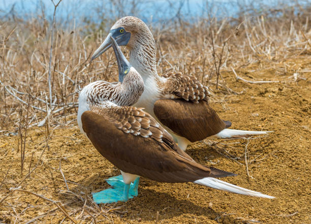 Blue Footed Boobies Dance stock photo