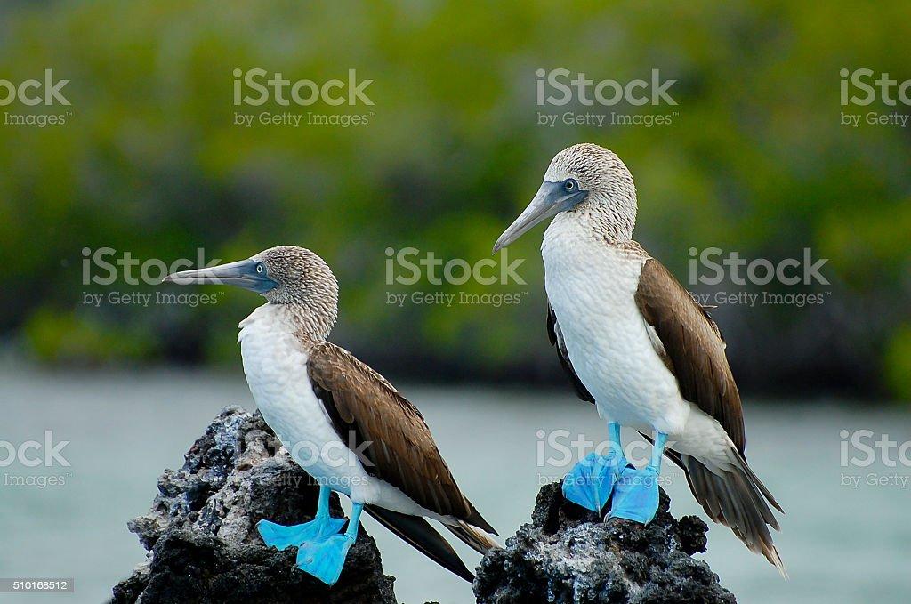 Blue Footed Boobies - Galapagos - Ecuador stock photo