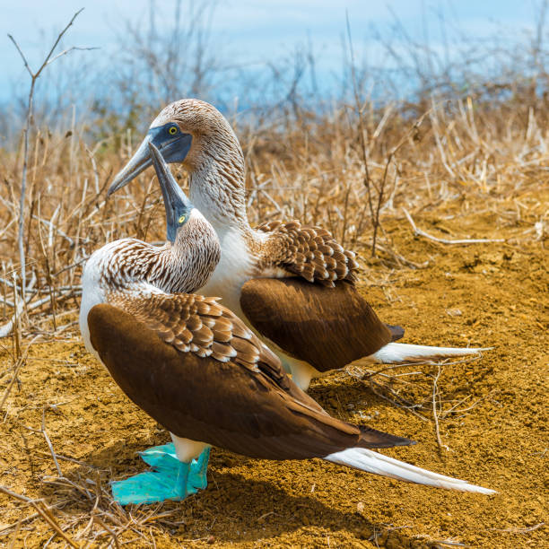 blue footed boobies mating dance, galapagos - wildlife conservation stock photos and pictures