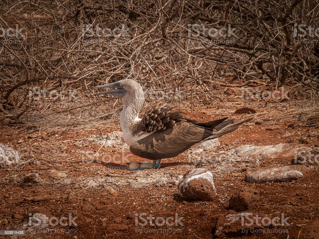 Blue Footed Booby and Eggs stock photo