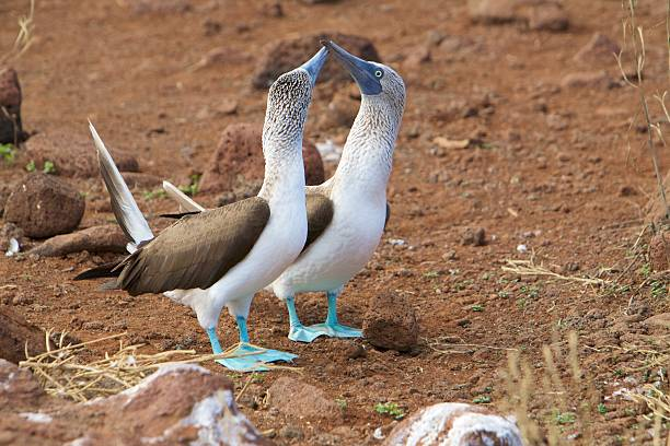 Blue footed booby kissing – Foto