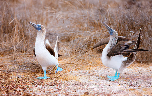 Blue footed booby mating dance stock photo