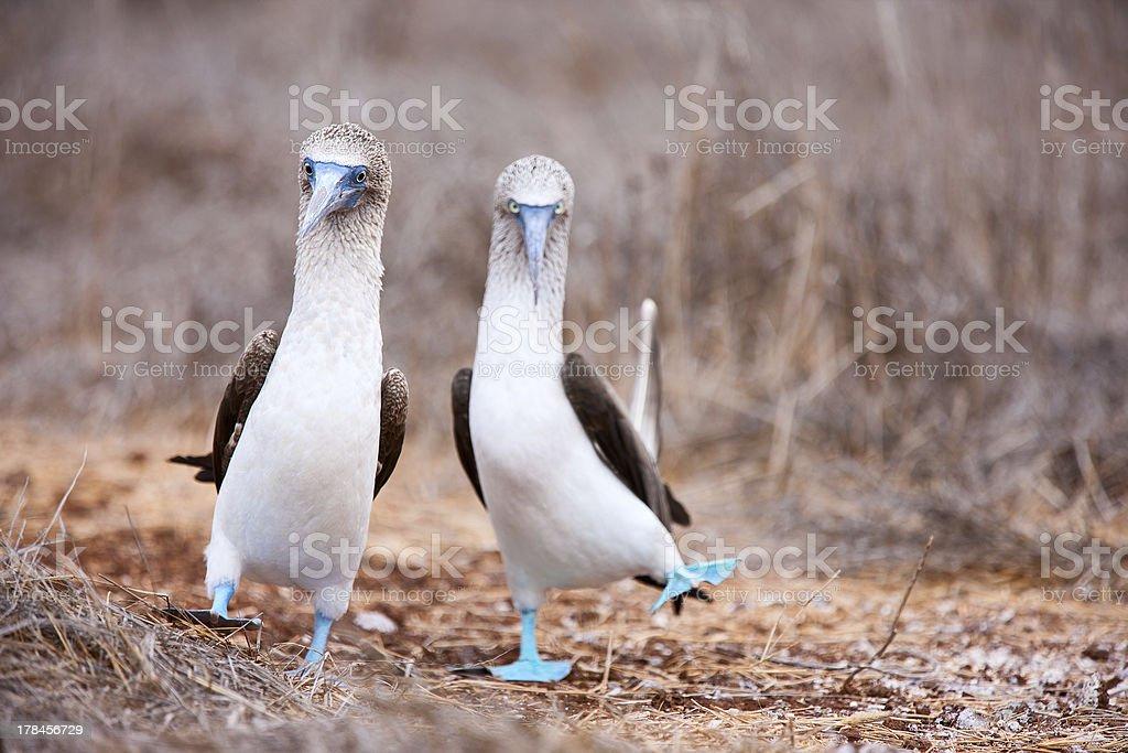 Blauer Strampler mit Füßen und Tölpel sich paaren dance – Foto