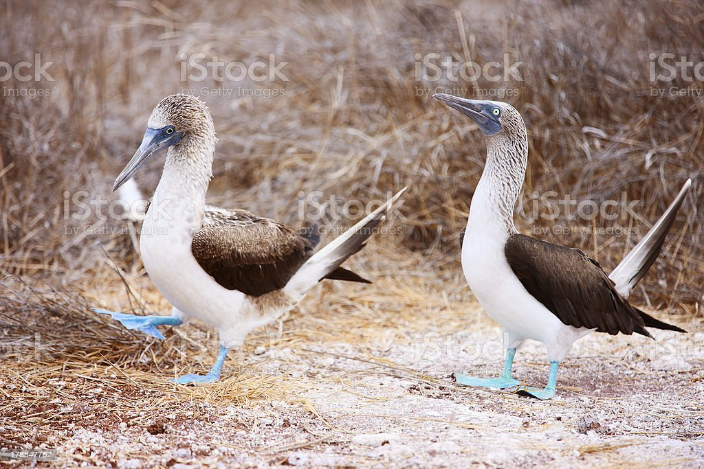 Blue footed booby mating dance royalty-free stock photo