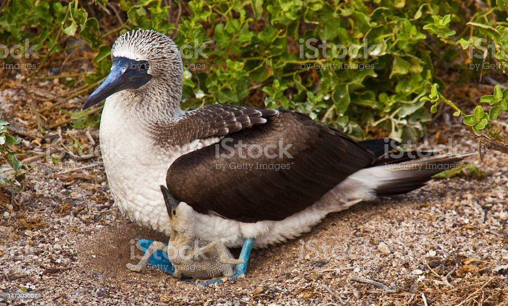 Blue Footed Booby Mother and Chick royalty-free stock photo