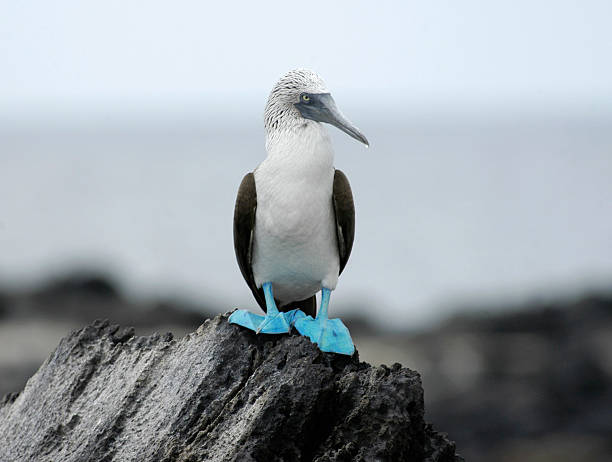 Blue Footed Booby stock photo