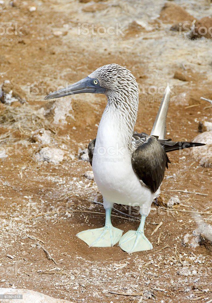 blue footed booby royalty-free stock photo