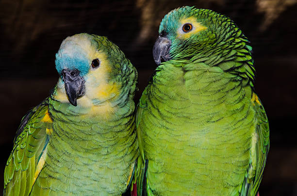 Blue footed parrots stock photo